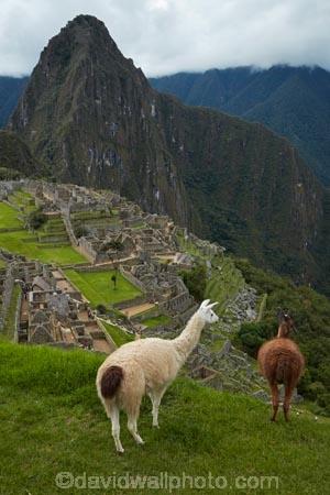 anamal;ancient;ancient-culture;archaeology;attraction;building;buildings;camelid;camelids;Camino-Inca;Camino-Inka;Cusco-Region;destination;domestic-stock;heritage;historic;historic-building;historic-buildings;historical;historical-building;historical-buildings;history;Huayna-Picchu;Huayna-Picchu-Peak;Inca;Inca-Citadel;Inca-City;Inca-Ruins;Inca-site;Inca-Trail;Inka;Lama;Lama-Glama;lamoids;Latin-America;Llama;Llamas;lost-city;Machu-Picchu;Machu-Pichu;Machupicchu-District;old;Peru;Republic-of-Peru;ruin;ruins;Sacred-Valley;Sacred-Valley-of-the-Incas;seven-wonders;seven-wonders-of-the-world;South-America;Sth-America;stock;tourism;tourist-attraction;tourist-site;tourist-sites;tradition;traditional;travel;UN-world-heritage-area;UN-world-heritage-site;UNESCO-World-Heritage-area;UNESCO-World-Heritage-Site;united-nations-world-heritage-area;united-nations-world-heritage-site;Urubamba-Province;Urubamba-Valley;wonders-of-the-world;world-heritage;world-heritage-area;world-heritage-areas;World-Heritage-Park;World-Heritage-site;World-Heritage-Sites