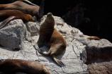 animal;animals;Ballestas;Ballestas-Is;Ballestas-Islands;Ballestas-Islands-archipelago;Ballestas-Islands-National-Reserve;Ballestas-Islands-Tour;coast;coastal;coasts;fur-seal;fur-seals;Ica-Region;Isla-Pedra-Redonda;Islas-Ballestas;Latin-America;Otaria-byronia;Otaria-flavescens;Otariidae;Paracas-Disctrict;Patagonian-sea-lion;Patagonian-sea-lions;Peru;Piedra-Dondra-Island;Pisco-Province;Republic-of-Peru;Reserva-National-Islas-Ballestas;reserves;sea-lion;sea-lions;seal;seals;South-America;South-American-sea-lion;South-American-sea-lions;South-American-wildlife;southern-sea-lion;southern-sea-lions;Sth-America;wildlife;wildlife-reserve