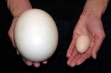 big;compare;comparison;difference;different;egg;eggs;hand;hen;large;ostrich;palm;size;small;tan;white