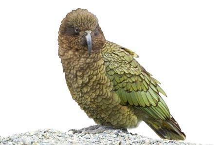 alpine;parrot;Animal;bird;cheeky;indigenous;kea;native;wildlife;nestor;notabilis;new-zealand;parrot;cutout;cut;out