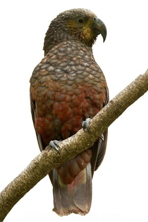 Animal;bird;Kaka;native;parrot;Nestor-meridionalis;New-Zealand;wildlife;cutout;cut;out