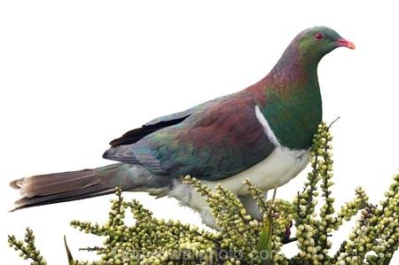 bird;Cabbage-Tree;Cordyline-australis;endangered;Hemiphaga-novaseelandiae;Kereru;native;New-Zealand;pigeon;protected;seed;tree;Wood-Pigeon;cutout;cut;out