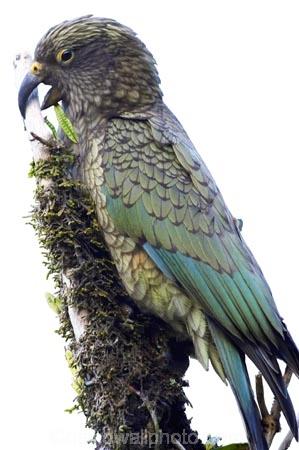 alpine;parrot;animal;bird;cheeky;indigenous;juvenile;Kea;native;nestor-notabilis;New-Zealand;parrot;wildlife;cutout;cut;out
