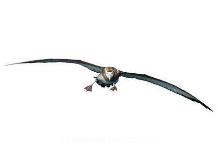 animal;aquatic;bird;Diomedea;juvenile;marine;new-zealand;Wandering;Albatross;wildlife;flying;young;cutout;cut;out