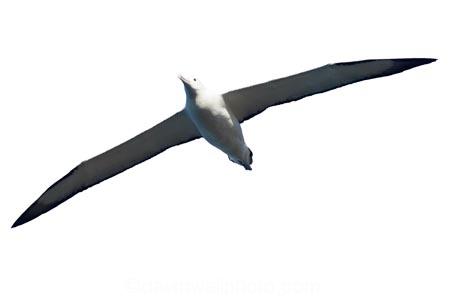 albatross;animal;bird;Diomedea-epomophora;flying;marine;New-Zealand;royal-albatross;NZ;Royal;soaring;wildlife;Wing;wingspan;cutout;cut;out