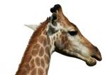 Africa;African;animal;Giraffa-camelopardalis;Giraffa-camelopardalis-giraffa;giraffe;mammal;Southern-Africa;wildlife;cutout;cut;out