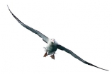 animal;aquatic;bird;Diomedea;Diomedea-gibsoni;Gibsons;Albatross;Gibsons;marine;new-zealand;Wandering;wildlife;cutout;cut;out