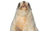 animal;Hookers-Sea-Lion;juvenile;mammal;marine;New-Zealand;Sea;Lion;NZ;Phocarctos-hookeri;pup;wildlife;cutout;cut;out