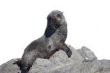 arctocephalus;Arctocephalus-forsteri;baby;cub;forsteri;fur;Seal;new-zealand;wildlide;cutout;cut;out;rocks