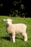 cute;fluffy;grass;lambs;new;sheep;spring;white;wool;young