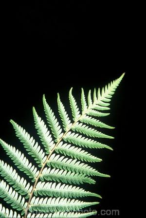 color;colors;colour;colours;cyathea-dealbata;cyatheaceae;emblem;fern;ferns;frond;fronds;grey;icon;icons;kiwi-icon;logo;native;nature;new-zealand;plant;plants;ponga;pongas;punga;pungas;silver-fern;symbol;symbols;tree-fern;white