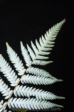 cyathea;cyathea-dealbata;cyatheaceae;emblem;fern;ferns;frond;fronds;grey;icon;icons;logo;N.Z.;native;nature;new-zealand;NZ;plant;plants;ponga;pongas;punga;pungas;S.I.;SI;silver;silver-fern;South-Is.;South-Island;symbol;symbols;tree-fern;tree-ferns;white