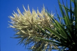 branch;branches;cultural-icon;evergreen;flora;flower;flowers;green;icon;leaves;native;native-new-zealand;nature;new-zealand;palm;palm-tree;spear_like;spears;spike;spikes;spikey;ti-kouka;tree;trunk;vertical