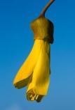 flower;icon;icons;native;nature;new-zealand;symbol;symbols;tree;trees;yellow