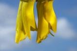 bloom;blooming;blooms;Dunedin;flower;flowers;fresh;grow;growth;icon;icons;Kowhai;Kowhai-Flower;Kowhai-Flowers;Kowhais;N.Z.;native;native-plants;nature;new-zealand;new-zealand-native-plant;NZ;nz-native-plant;Otago;petal;petals;plant;renew;S.I.;season;seasonal;seasons;SI;Sophora-sp.;South-Is.;South-Island;spring;springtime;stamen;symbol;symbols;tree;trees;yellow