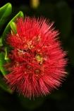 crimson;crimson-flower;crimson-flowers;Dunedin;flower;flowers;metrosideros-excelsa;N.Z.;native;native-plant;native-plants;New-Zealand;NZ;Otago;plant;plants;pohutakawa;pohutakawas;pohutukawa;pohutukawa-flower;pohutukawa-flowers;pohutukawa-tree;pohutukawa-trees;pohutukawas;red;red-flower;red-flowers;S.I.;SI;South-Is;South-Island;summer;tree;trees