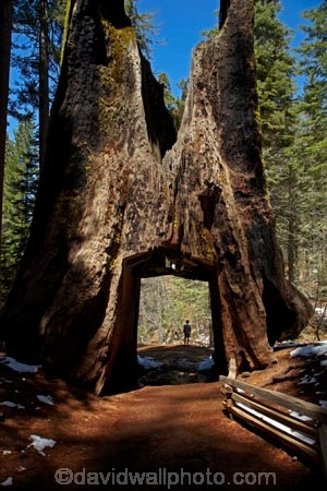 America;American;bark;CA;California;conifer;coniferous-tree;coniferous-trees;conifers;Crane-Flat;Dead-Giant;dead-giant-tunnel-tree;forest;forested;forests;giant-redwood;giant-sequoia;giant-sequoia-grove;giant-sequoia-groves;giant-sequoias;hiker;hikers;hiking-path;hiking-paths;hiking-trail;hiking-trails;national-park;national-parks;path;paths;pathway;pathways;people;person;redwoods;route;routes;sequoia;sequoia-grove;sequoia-groves;Sequoiadendron;Sequoiadendron-giganteum;sequoias;Sierra-Nevada;Sierra-Nevada-foothills;Sierra-redwood;Sierran-redwood;States;timber;tourism;tourist;tourists;track;tracks;trail;trails;tramping-trail;tramping-trails;tree;tree-trunk;tree-trunks;trees;truck;trunks;tunnel-tree;Tuolumne-Grove;Tuolumne-Grove-path;Tuolumne-Grove-track;Tuolumne-Grove-trail;Tuolumne-Grove-walkway;Tuolumne-Sequoia-Grove;U.S.A;UN-world-heritage-area;UN-world-heritage-site;UNESCO-World-Heritage-area;UNESCO-World-Heritage-Site;united-nations-world-heritage-area;united-nations-world-heritage-site;United-States;United-States-of-America;USA;visitor;visitors;walker;walkers;walking-path;walking-paths;walking-trail;walking-trails;walkway;walkways;Wellingtonia;West-Coast;West-United-States;West-US;West-USA;Western-United-States;Western-US;Western-USA;wood;woods;world-heritage;world-heritage-area;world-heritage-areas;World-Heritage-Park;World-Heritage-site;World-Heritage-Sites;Yosemite;Yosemite-N.P.;Yosemite-Nat-Pk;Yosemite-National-Park;Yosemite-NP