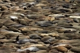 America;American;animal;animals;Big-Sur;CA;California;California-1;California-Central-Coast;California-State-Route-1;Central-Coast;coast;coastal;coasts;crowd;crowded;crowds;elephant-seal;Elephant-seal-colony;elephant-seals;mammal;mammals;marine-mammal;marine-mammals;Mirounga-angustirostris;Northern-Elephant-Seal;Pacific-Coast-Highway;Pacific-Coast-Road;pattern;patterns;Piedras-Blancas;Piedras-Blancas-elephant-seal-rookery;Piedras-Blancas-rookery;Point-Piedras-Blancas;rookeries;rookery;San-Simeon;seal;Seal-colony;Seal-rookery;seals;States;The-Big-Sur;The-Central-Coast;U.S.A;United-States;United-States-of-America;USA;West-Coast;West-United-States;West-US;West-USA;Western-United-States;Western-US;Western-USA;wildlife