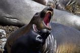 America;American;animal;animals;Big-Sur;CA;California;California-1;California-Central-Coast;California-State-Route-1;Central-Coast;coast;coastal;coasts;elephant-seal;Elephant-seal-colony;elephant-seals;fight;fighting;mammal;mammals;marine-mammal;marine-mammals;Mirounga-angustirostris;Northern-Elephant-Seal;Pacific-Coast-Highway;Pacific-Coast-Road;Piedras-Blancas;Piedras-Blancas-elephant-seal-rookery;Piedras-Blancas-rookery;Point-Piedras-Blancas;rookeries;rookery;San-Simeon;seal;Seal-colony;Seal-rookery;seals;States;The-Big-Sur;The-Central-Coast;U.S.A;United-States;United-States-of-America;USA;West-Coast;West-United-States;West-US;West-USA;Western-United-States;Western-US;Western-USA;wildlife