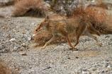 8252;against;america;american;American-jackal;American-jackals;badwater;Badwater-Basin;basin;brush-wolf;brush-wolves;bush;CA;california;camouflage;camouflaged;Canid;Canidae;Canids;canis;Canis-latrans;Carnivora;carnivore;carnivores;coyote;coyotes;death;Death-Valley;Death-Valley-N.P.;Death-Valley-National-Park;desert;dry;Great-Basin;International-Biosphere-Reserve;latrans;Mammal;Mammals;mojave;Mojave-Desert;national;national-park;National-parks;omnivore;omnivores;park;prairie-wolf;prairie-wolves;predator;predators;states;The-Great-Basin;U.S.A;United-States;United-States-of-America;usa;valley;west-coast;West-United-States;West-US;West-USA;Western-United-States;Western-US;Western-USA;wilderness-area;Wildlife