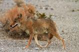 8272;against;america;american;American-jackal;American-jackals;badwater;Badwater-Basin;basin;brush-wolf;brush-wolves;bush;CA;california;camouflage;camouflaged;Canid;Canidae;Canids;canis;Canis-latrans;Carnivora;carnivore;carnivores;coyote;coyotes;death;Death-Valley;Death-Valley-N.P.;Death-Valley-National-Park;desert;dry;Great-Basin;International-Biosphere-Reserve;latrans;Mammal;Mammals;mojave;Mojave-Desert;national;national-park;National-parks;omnivore;omnivores;park;prairie-wolf;prairie-wolves;predator;predators;states;The-Great-Basin;U.S.A;United-States;United-States-of-America;usa;valley;west-coast;West-United-States;West-US;West-USA;Western-United-States;Western-US;Western-USA;wilderness-area;Wildlife