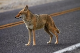 8304;america;american;American-jackal;American-jackals;badwater;Badwater-Basin;basin;brush-wolf;brush-wolves;CA;california;Canid;Canidae;Canids;canis;Canis-latrans;Carnivora;carnivore;carnivores;coyote;coyotes;danger;dangerous;death;Death-Valley;Death-Valley-N.P.;Death-Valley-National-Park;desert;Great-Basin;International-Biosphere-Reserve;latrans;Mammal;Mammals;mojave;Mojave-Desert;national;national-park;National-parks;omnivore;omnivores;park;prairie-wolf;prairie-wolves;predator;predators;road;roads;states;The-Great-Basin;U.S.A;United-States;United-States-of-America;usa;valley;west-coast;West-United-States;West-US;West-USA;Western-United-States;Western-US;Western-USA;wilderness-area;Wildlife