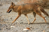 8316;america;american;American-jackal;American-jackals;badwater;Badwater-Basin;basin;brush-wolf;brush-wolves;CA;california;Canid;Canidae;Canids;canis;Canis-latrans;Carnivora;carnivore;carnivores;coyote;coyotes;death;Death-Valley;Death-Valley-N.P.;Death-Valley-National-Park;desert;Great-Basin;International-Biosphere-Reserve;latrans;Mammal;Mammals;mojave;Mojave-Desert;national;national-park;National-parks;omnivore;omnivores;park;prairie-wolf;prairie-wolves;predator;predators;states;The-Great-Basin;U.S.A;United-States;United-States-of-America;usa;valley;west-coast;West-United-States;West-US;West-USA;Western-United-States;Western-US;Western-USA;wilderness-area;Wildlife