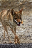 8326;america;american;American-jackal;American-jackals;badwater;Badwater-Basin;basin;brush-wolf;brush-wolves;CA;california;Canid;Canidae;Canids;canis;Canis-latrans;Carnivora;carnivore;carnivores;coyote;coyotes;death;Death-Valley;Death-Valley-N.P.;Death-Valley-National-Park;desert;Great-Basin;International-Biosphere-Reserve;latrans;Mammal;Mammals;mojave;Mojave-Desert;national;national-park;National-parks;omnivore;omnivores;park;prairie-wolf;prairie-wolves;predator;predators;states;The-Great-Basin;U.S.A;United-States;United-States-of-America;usa;valley;west-coast;West-United-States;West-US;West-USA;Western-United-States;Western-US;Western-USA;wilderness-area;Wildlife