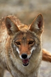 8337;america;american;American-jackal;American-jackals;badwater;Badwater-Basin;basin;brush-wolf;brush-wolves;CA;california;Canid;Canidae;Canids;canis;Canis-latrans;Carnivora;carnivore;carnivores;Close-up;Closeup;close_up;coyote;coyotes;death;Death-Valley;Death-Valley-N.P.;Death-Valley-National-Park;desert;Great-Basin;International-Biosphere-Reserve;latrans;Mammal;Mammals;mojave;Mojave-Desert;national;national-park;National-parks;omnivore;omnivores;park;Portrait;portraits;prairie-wolf;prairie-wolves;predator;predators;states;The-Great-Basin;U.S.A;United-States;United-States-of-America;usa;valley;west-coast;West-United-States;West-US;West-USA;Western-United-States;Western-US;Western-USA;wilderness-area;Wildlife