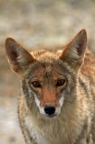 8383;america;american;American-jackal;American-jackals;badwater;Badwater-Basin;basin;brush-wolf;brush-wolves;CA;california;Canid;Canidae;Canids;canis;Canis-latrans;Carnivora;carnivore;carnivores;Close-up;Closeup;close_up;coyote;coyotes;death;Death-Valley;Death-Valley-N.P.;Death-Valley-National-Park;desert;Great-Basin;International-Biosphere-Reserve;latrans;Mammal;Mammals;mojave;Mojave-Desert;national;national-park;National-parks;omnivore;omnivores;park;Portrait;portraits;prairie-wolf;prairie-wolves;predator;predators;states;The-Great-Basin;U.S.A;United-States;United-States-of-America;usa;valley;west-coast;West-United-States;West-US;West-USA;Western-United-States;Western-US;Western-USA;wilderness-area;Wildlife