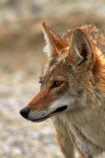 8359;america;american;American-jackal;American-jackals;badwater;Badwater-Basin;basin;brush-wolf;brush-wolves;CA;california;Canid;Canidae;Canids;canis;Canis-latrans;Carnivora;carnivore;carnivores;Close-up;Closeup;close_up;coyote;coyotes;death;Death-Valley;Death-Valley-N.P.;Death-Valley-National-Park;desert;Great-Basin;International-Biosphere-Reserve;latrans;Mammal;Mammals;mojave;Mojave-Desert;national;national-park;National-parks;omnivore;omnivores;park;Portrait;portraits;prairie-wolf;prairie-wolves;predator;predators;states;The-Great-Basin;U.S.A;United-States;United-States-of-America;usa;valley;west-coast;West-United-States;West-US;West-USA;Western-United-States;Western-US;Western-USA;wilderness-area;Wildlife