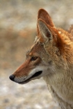 8399;america;american;American-jackal;American-jackals;badwater;Badwater-Basin;basin;brush-wolf;brush-wolves;CA;california;Canid;Canidae;Canids;canis;Canis-latrans;Carnivora;carnivore;carnivores;Close-up;Closeup;close_up;coyote;coyotes;death;Death-Valley;Death-Valley-N.P.;Death-Valley-National-Park;desert;Great-Basin;International-Biosphere-Reserve;latrans;Mammal;Mammals;mojave;Mojave-Desert;national;national-park;National-parks;omnivore;omnivores;park;Portrait;portraits;prairie-wolf;prairie-wolves;predator;predators;states;The-Great-Basin;U.S.A;United-States;United-States-of-America;usa;valley;west-coast;West-United-States;West-US;West-USA;Western-United-States;Western-US;Western-USA;wilderness-area;Wildlife